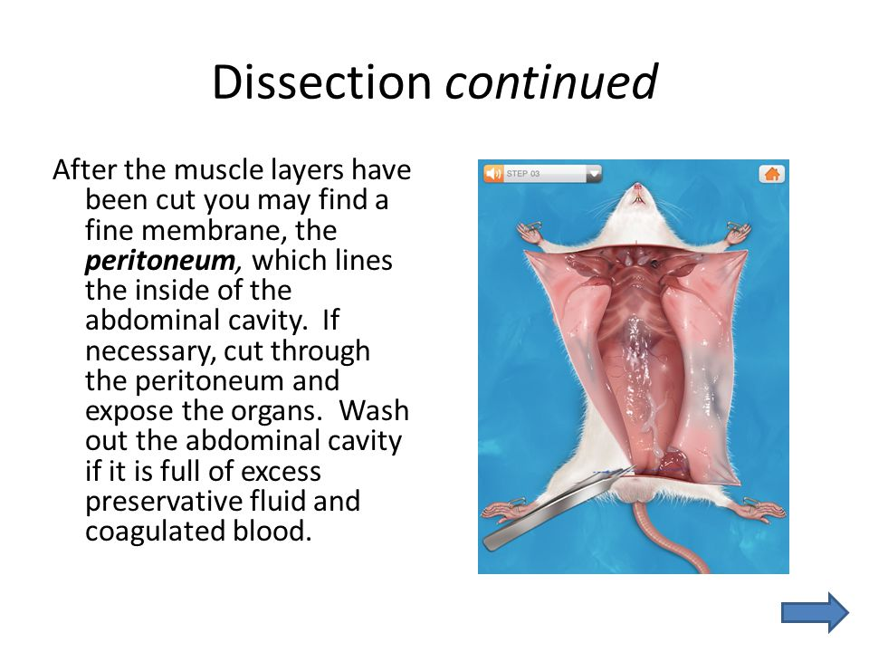 Dissection continued After the muscle layers have been cut you may find a fine membrane, the peritoneum, which lines the inside of the abdominal cavit
