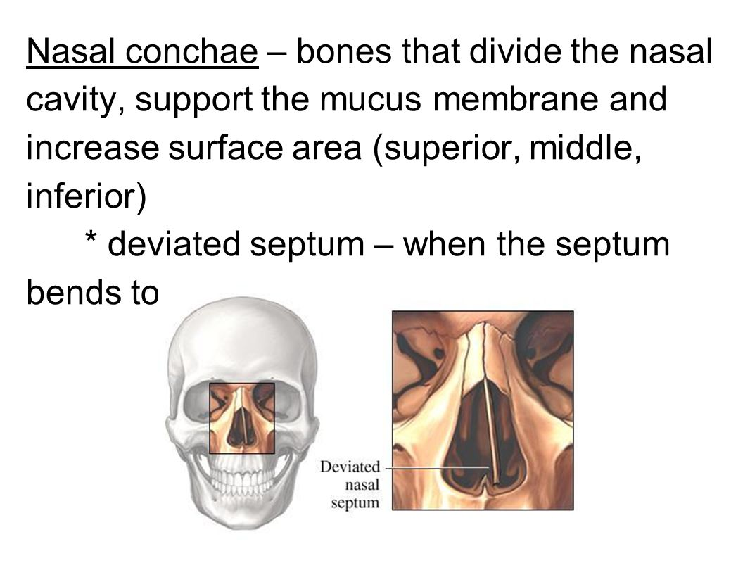 Nasal conchae – bones that divide the nasal cavity, support the mucus membrane and increase surface area (superior, middle, inferior) * deviated septu