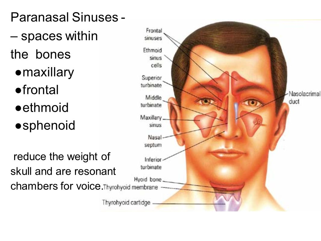 Paranasal Sinuses - – spaces within the bones ●maxillary ●frontal ●ethmoid ●sphenoid reduce the weight of skull and are resonant chambers for voice.