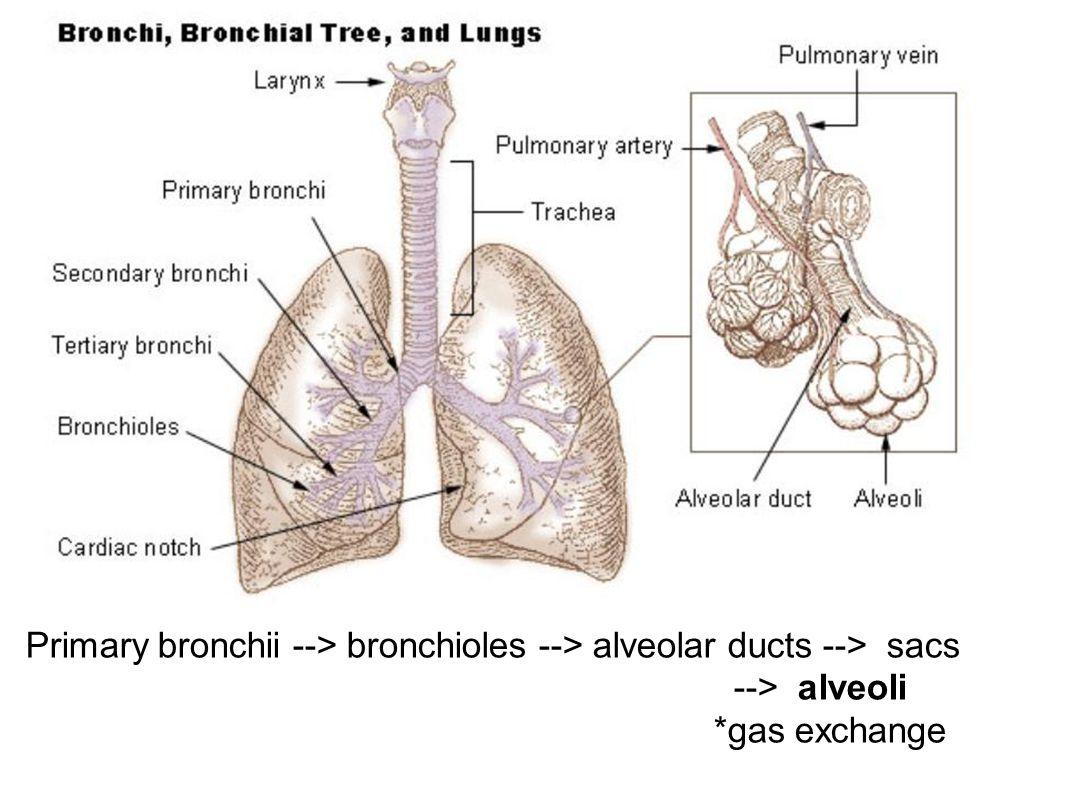 Primary bronchii --> bronchioles --> alveolar ducts --> sacs --> alveoli *gas exchange