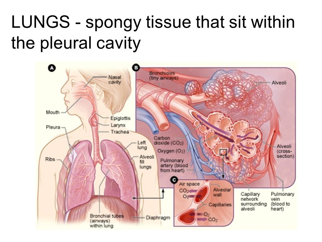LUNGS - spongy tissue that sit within the pleural cavity