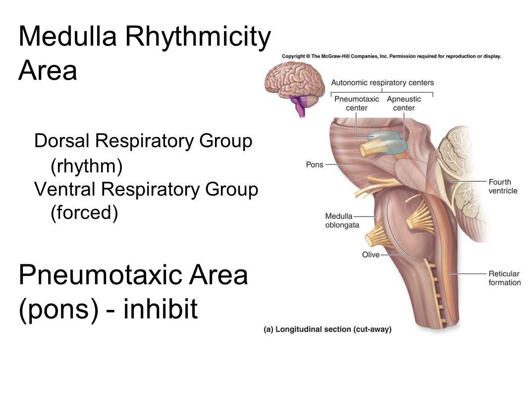 Medulla Rhythmicity Area Dorsal Respiratory Group (rhythm) Ventral Respiratory Group (forced) Pneumotaxic Area (pons) - inhibit