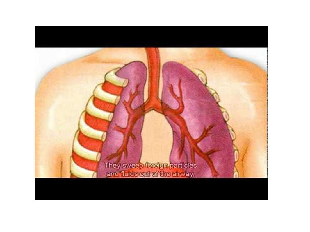 Right Lung = 3 lobes Left Lung = 2 lobes Serous fluid lubricates lungs during breathing