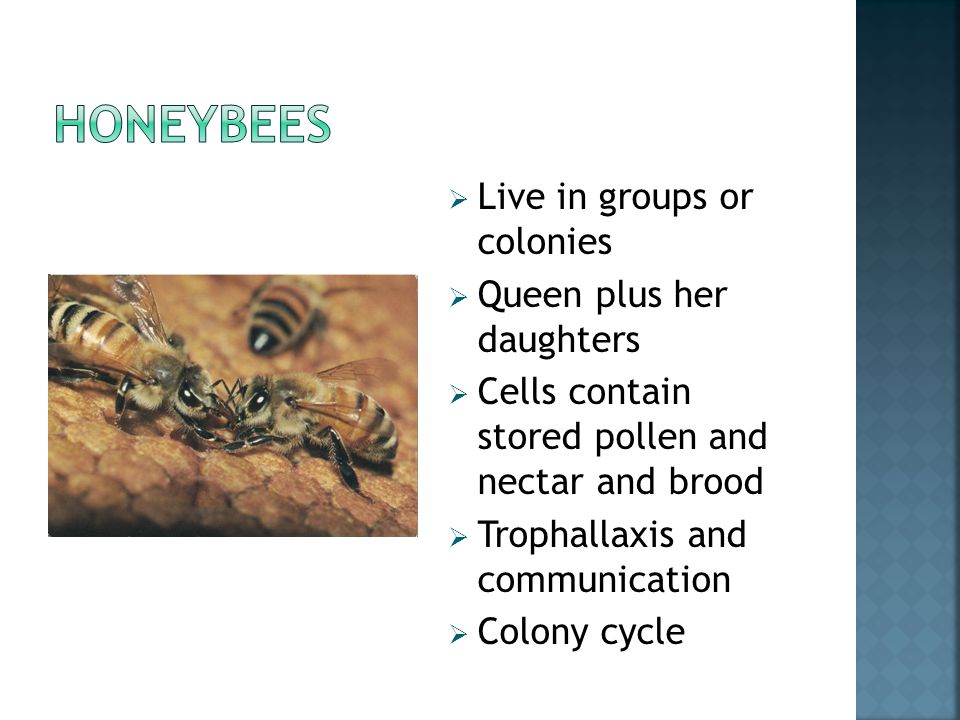 Live in groups or colonies  Queen plus her daughters  Cells contain stored pollen and nectar and brood  Trophallaxis and communication  Colony cycle