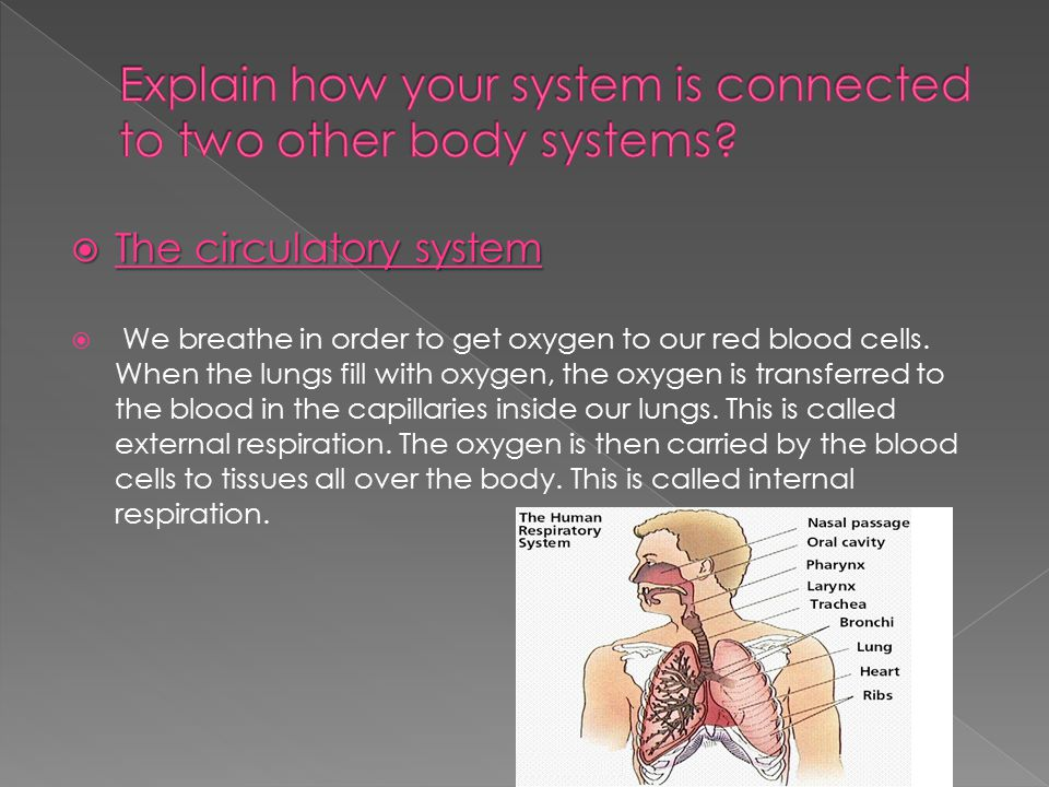  The circulatory system  We breathe in order to get oxygen to our red blood cells. When the lungs fill with oxygen, the oxygen is transferred to the
