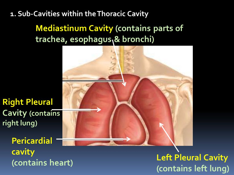 Mediastinum Cavity (contains parts of trachea, esophagus & bronchi) Right Pleural Cavity (contains right lung) Left Pleural Cavity (contains left lung