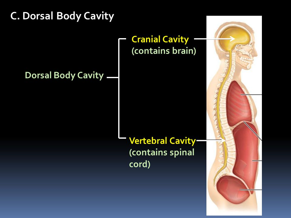 C. Dorsal Body Cavity Cranial Cavity (contains brain) Vertebral Cavity (contains spinal cord) Dorsal Body Cavity