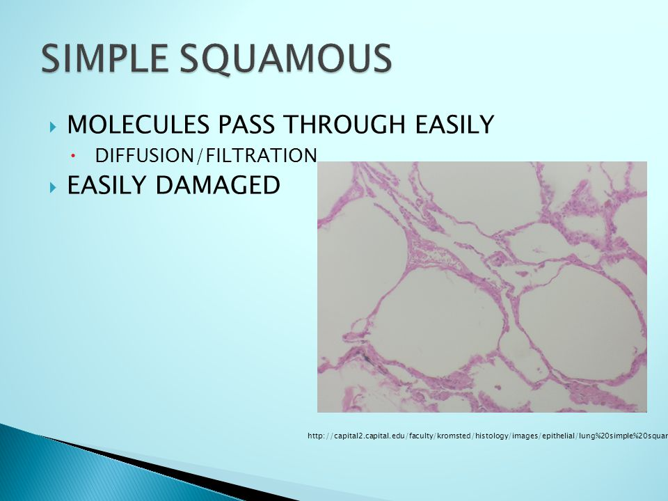  MOLECULES PASS THROUGH EASILY  DIFFUSION/FILTRATION  EASILY DAMAGED http://capital2.capital.edu/faculty/kromsted/histology/images/epithelial/lung%20simple%20squamous.JPG
