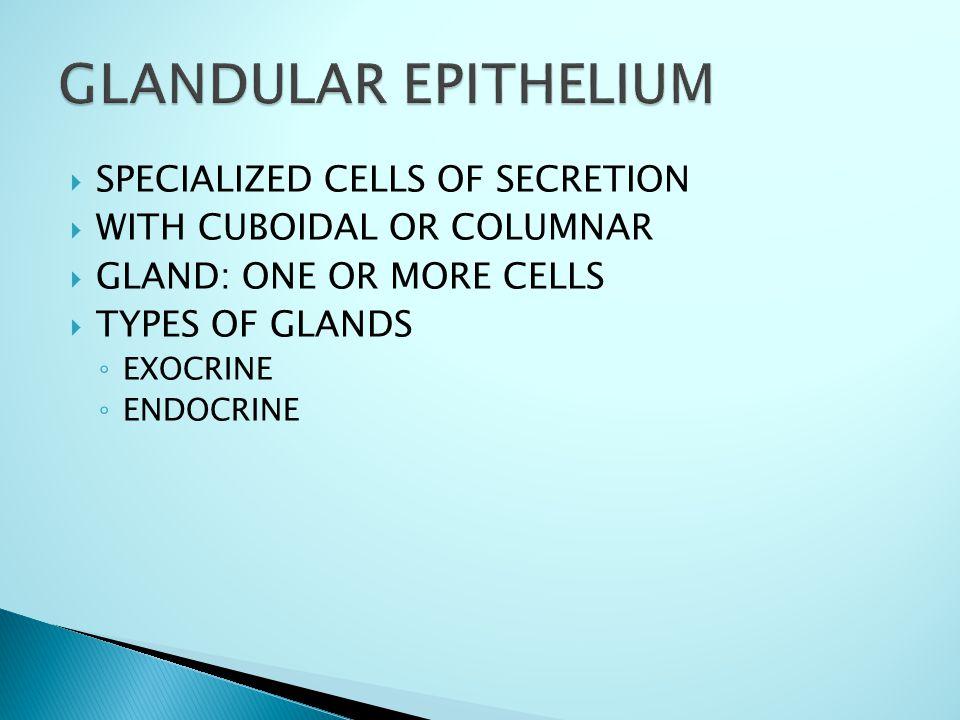  SPECIALIZED CELLS OF SECRETION  WITH CUBOIDAL OR COLUMNAR  GLAND: ONE OR MORE CELLS  TYPES OF GLANDS ◦ EXOCRINE ◦ ENDOCRINE