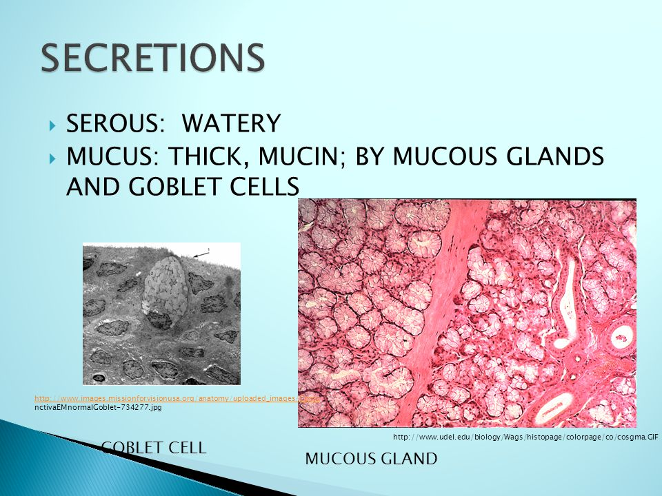  SEROUS: WATERY  MUCUS: THICK, MUCIN; BY MUCOUS GLANDS AND GOBLET CELLS http://www.udel.edu/biology/Wags/histopage/colorpage/co/cosgma.GIF MUCOUS GL