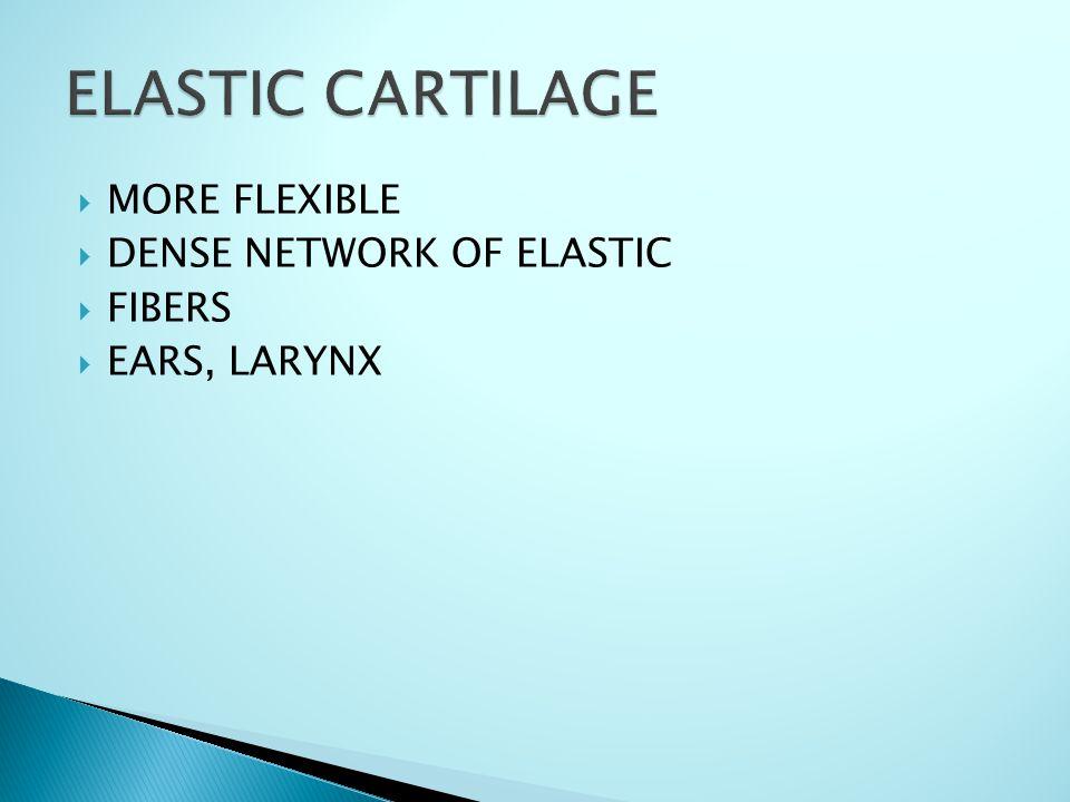  MORE FLEXIBLE  DENSE NETWORK OF ELASTIC  FIBERS  EARS, LARYNX