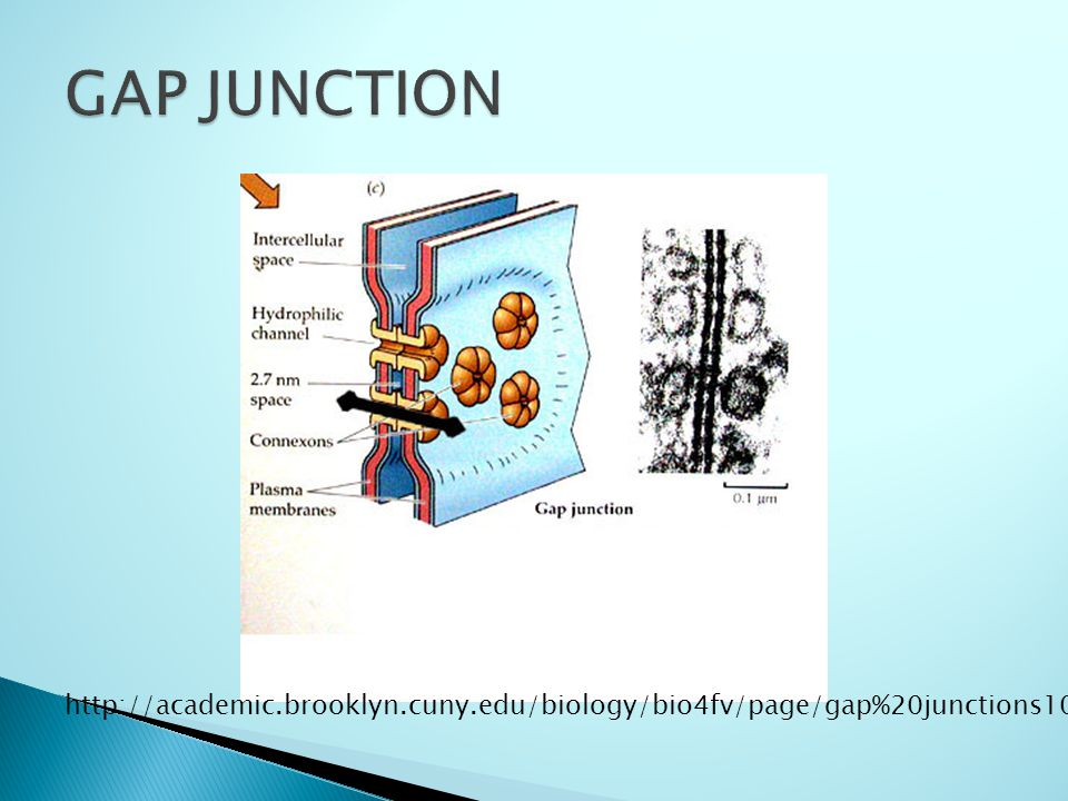 http://academic.brooklyn.cuny.edu/biology/bio4fv/page/gap%20junctions1000a.JPG