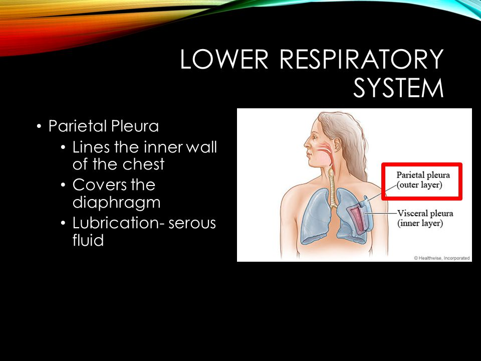 LOWER RESPIRATORY SYSTEM Parietal Pleura Lines the inner wall of the chest Covers the diaphragm Lubrication- serous fluid