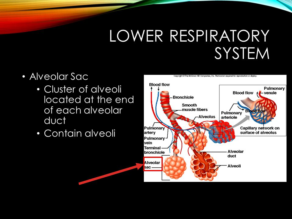 LOWER RESPIRATORY SYSTEM Alveolar Sac Cluster of alveoli located at the end of each alveolar duct Contain alveoli