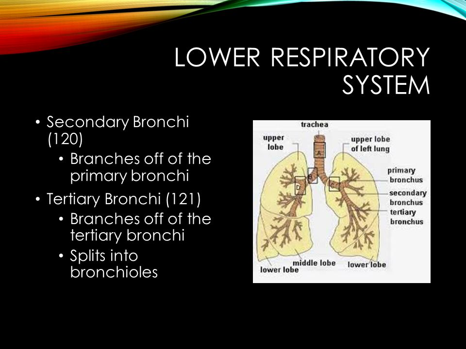 LOWER RESPIRATORY SYSTEM Secondary Bronchi (120) Branches off of the primary bronchi Tertiary Bronchi (121) Branches off of the tertiary bronchi Split