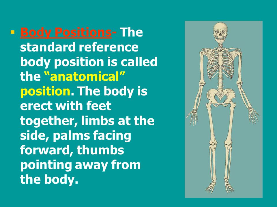 """  Body Positions- The standard reference body position is called the """"anatomical"""" position. The body is erect with feet together, limbs at the side,"""