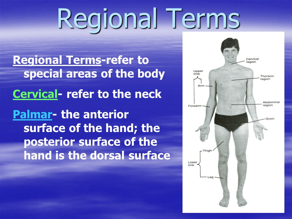 Regional Terms Regional Terms-refer to special areas of the body Cervical- refer to the neck Palmar- the anterior surface of the hand; the posterior s