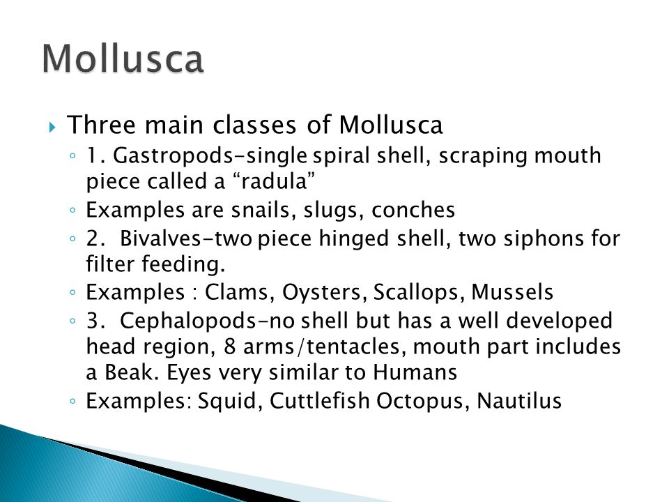 " Three main classes of Mollusca ◦ 1. Gastropods-single spiral shell, scraping mouth piece called a ""radula"" ◦ Examples are snails, slugs, conches ◦ 2"