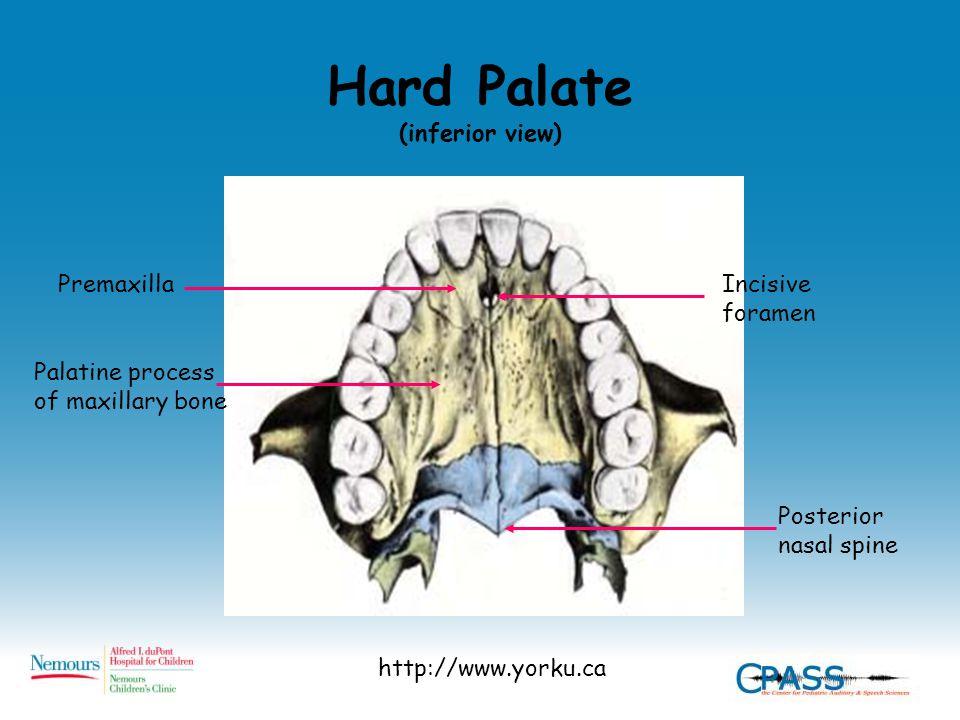 Hard Palate (inferior view) http://www.yorku.ca Posterior nasal spine Incisive foramen Palatine process of maxillary bone Premaxilla