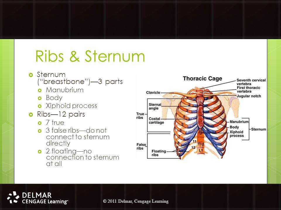 "© 2010 Delmar, Cengage Learning 4 © 2011 Delmar, Cengage Learning Ribs & Sternum  Sternum (""breastbone"")—3 parts  Manubrium  Body  Xiphoid process"