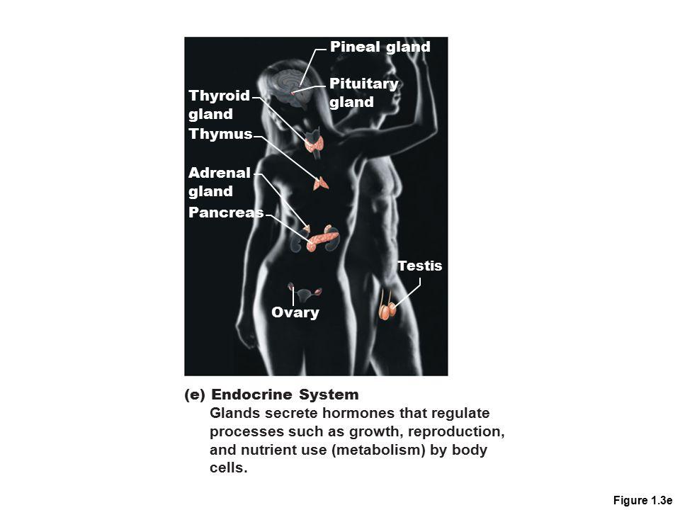 Figure 1.3e Pineal gland Pituitary gland Thyroid gland Thymus Adrenal gland Pancreas Testis Ovary (e) Endocrine System Glands secrete hormones that re