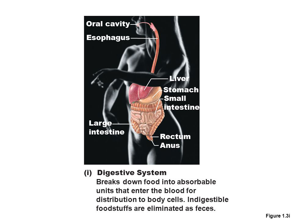 Figure 1.3i Liver Oral cavity Esophagus Large intestine Stomach Small intestine Rectum Anus (i) Digestive System Breaks down food into absorbable unit