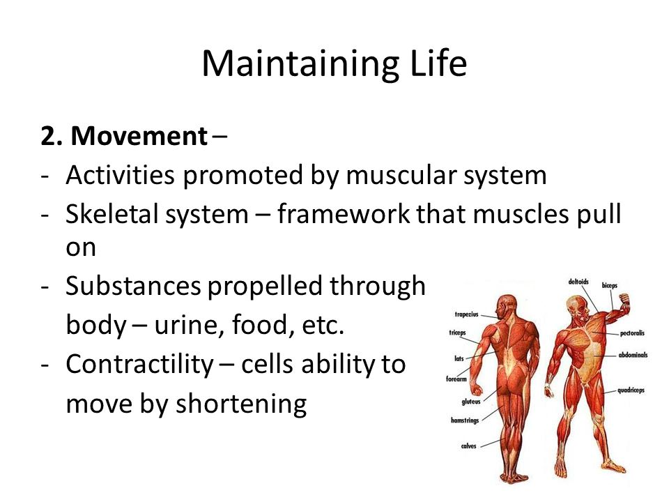 Maintaining Life 2. Movement – -Activities promoted by muscular system -Skeletal system – framework that muscles pull on -Substances propelled through