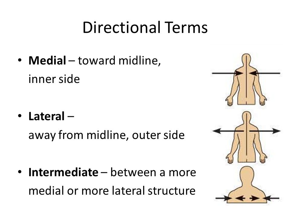 Directional Terms Medial – toward midline, inner side Lateral – away from midline, outer side Intermediate – between a more medial or more lateral str