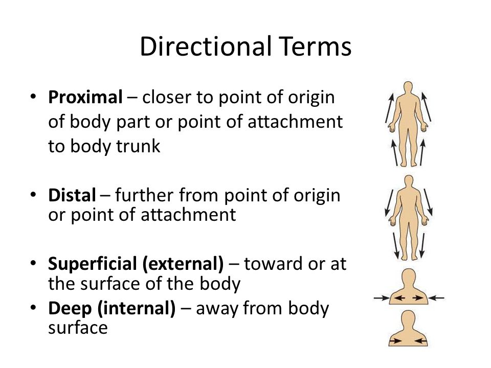 Directional Terms Proximal – closer to point of origin of body part or point of attachment to body trunk Distal – further from point of origin or poin
