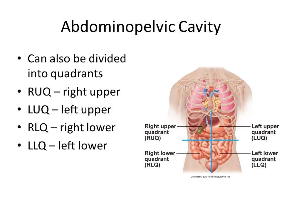 Abdominopelvic Cavity Can also be divided into quadrants RUQ – right upper LUQ – left upper RLQ – right lower LLQ – left lower