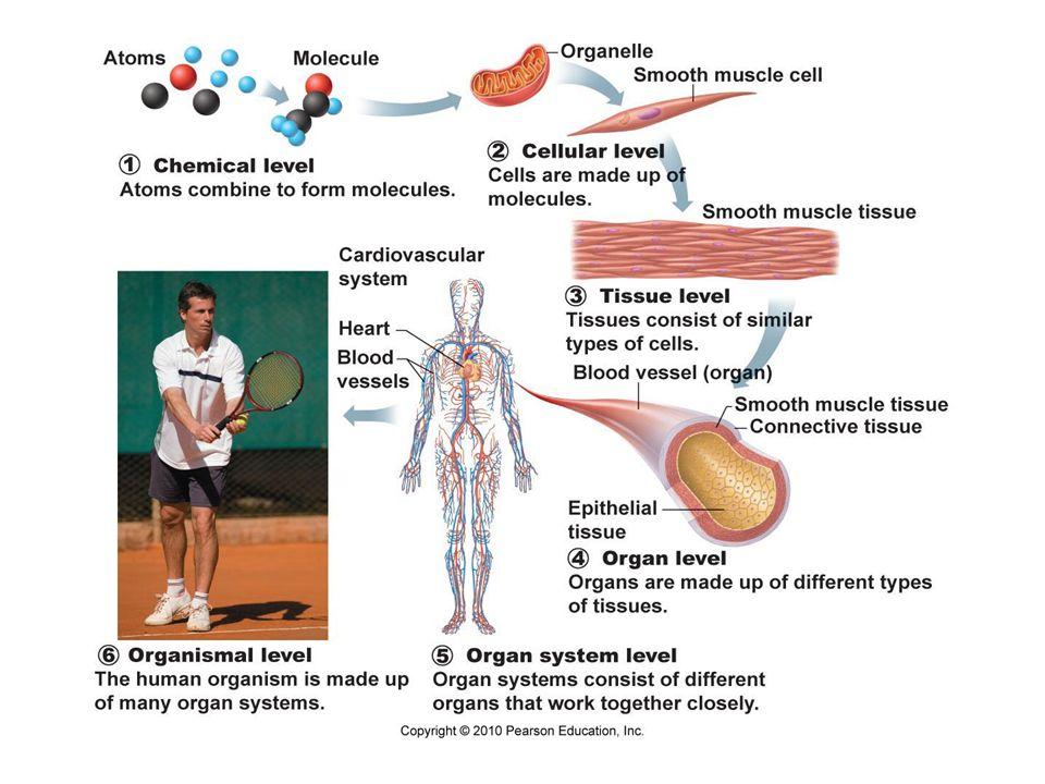 Figure 1.3j Kidney Ureter Urinary bladder Urethra (j) Urinary System Eliminates nitrogenous wastes from the body.