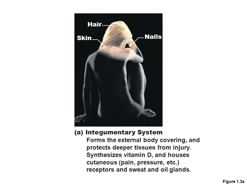 Figure 1.3a Nails Skin Hair (a) Integumentary System Forms the external body covering, and protects deeper tissues from injury. Synthesizes vitamin D,
