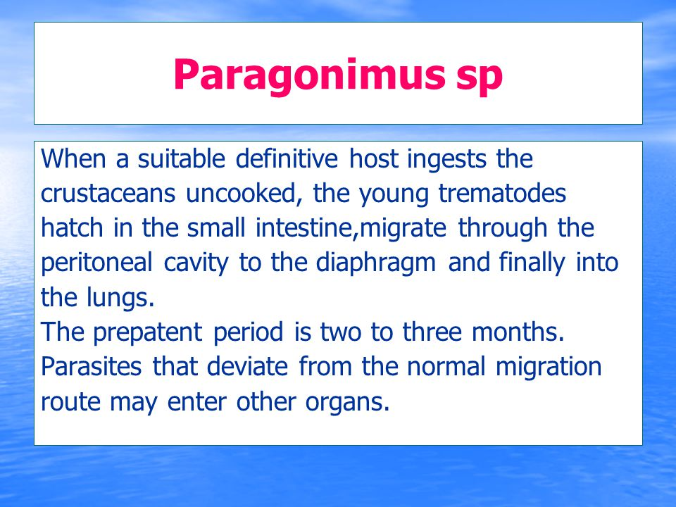Paragonimus sp When a suitable definitive host ingests the crustaceans uncooked, the young trematodes hatch in the small intestine,migrate through the