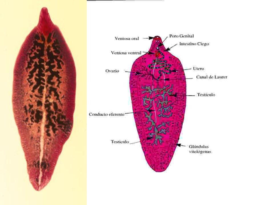 Paragonimus sp.adult and egg egg egg Adult egg