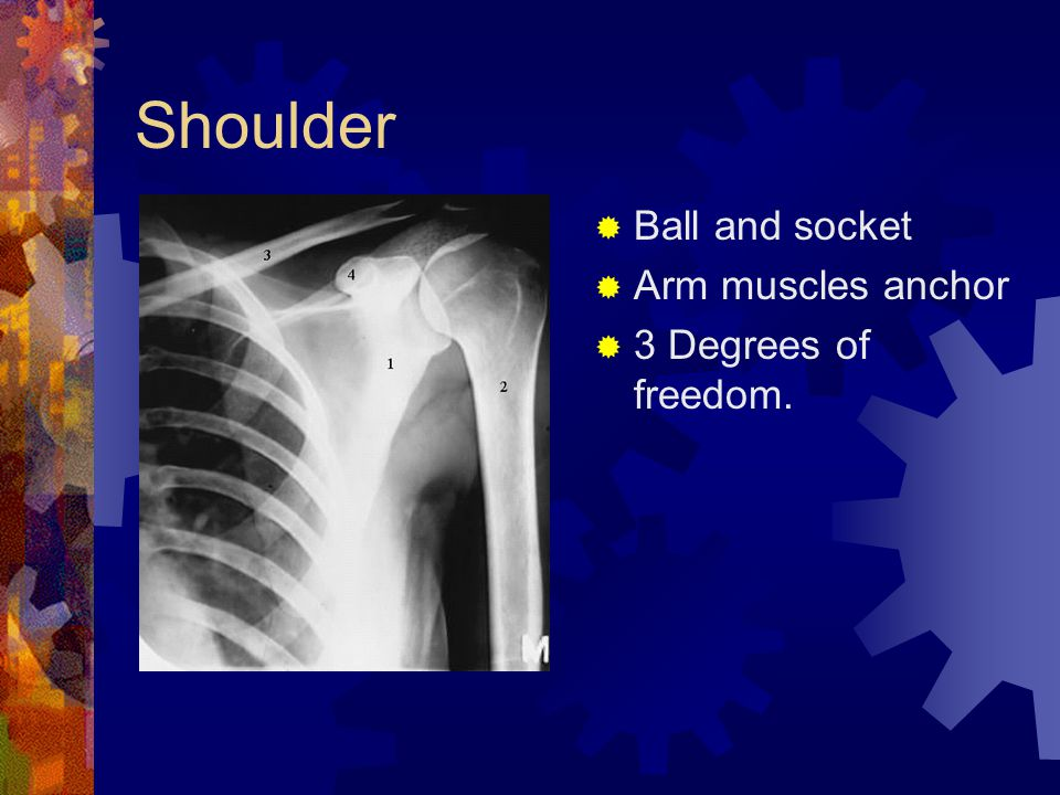 Shoulder  Ball and socket  Arm muscles anchor  3 Degrees of freedom.