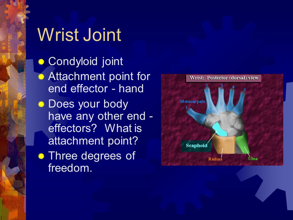 Wrist Joint  Condyloid joint  Attachment point for end effector - hand  Does your body have any other end - effectors.