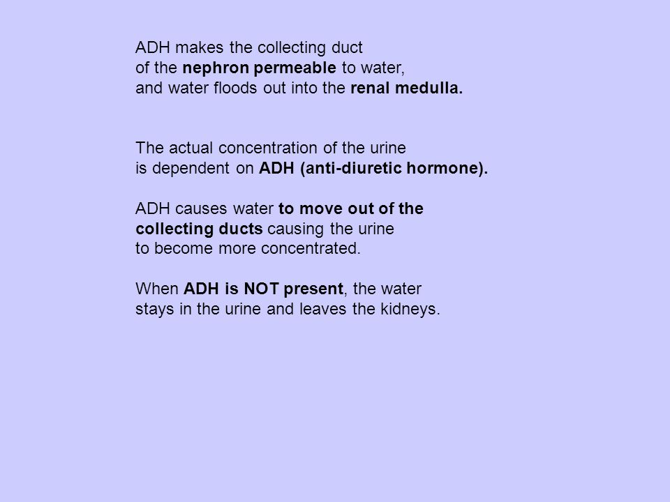 ADH makes the collecting duct of the nephron permeable to water, and water floods out into the renal medulla.