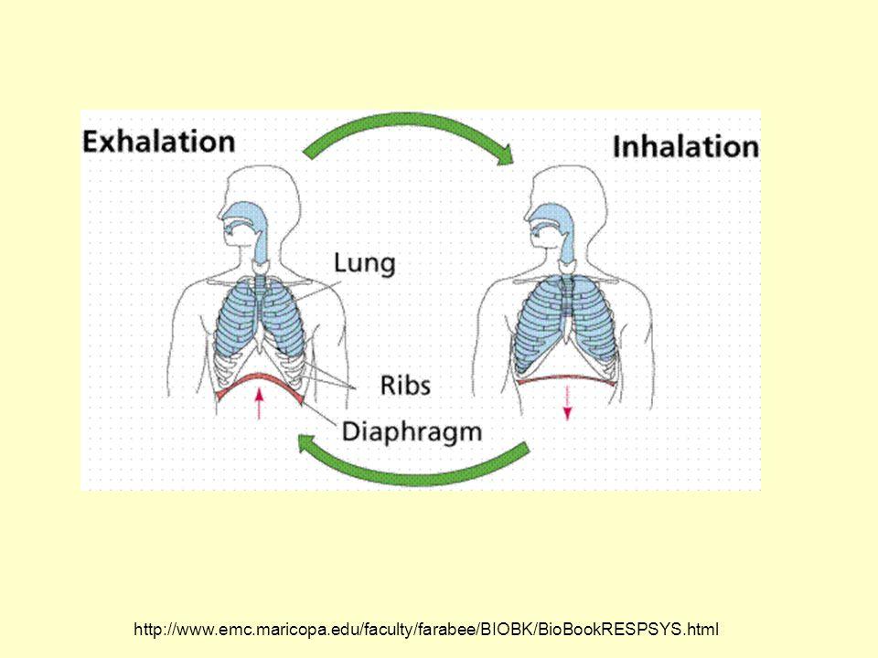http://media.allrefer.com/s4/l/p0002685-urinary-system.gif Renal Pelvis Renal Medulla Renal Cortex