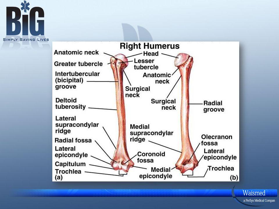 Compact bone anatomy