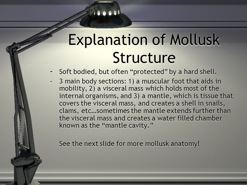 Explanation of Mollusk Structure - Soft bodied, but often protected by a hard shell.