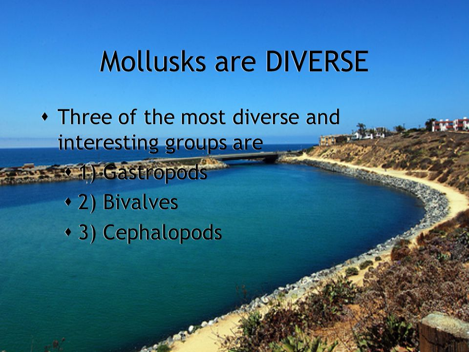 Mollusks are DIVERSE  Three of the most diverse and interesting groups are  1) Gastropods  2) Bivalves  3) Cephalopods  Three of the most diverse and interesting groups are  1) Gastropods  2) Bivalves  3) Cephalopods