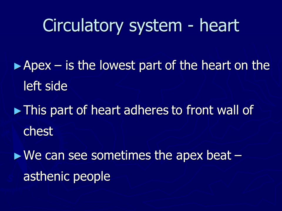 Circulatory system - heart ► Apex – is the lowest part of the heart on the left side ► This part of heart adheres to front wall of chest ► We can see sometimes the apex beat – asthenic people
