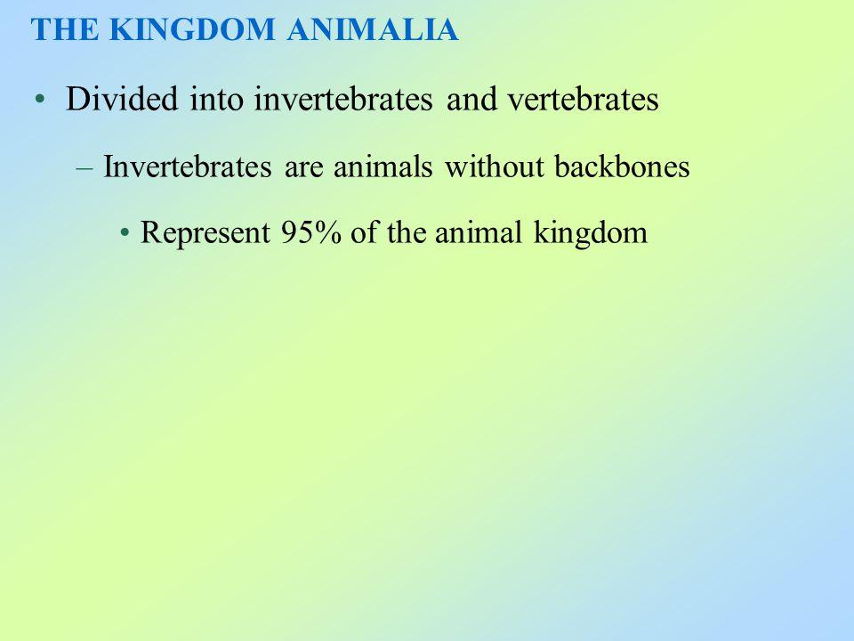 Divided into invertebrates and vertebrates –Invertebrates are animals without backbones Represent 95% of the animal kingdom THE KINGDOM ANIMALIA