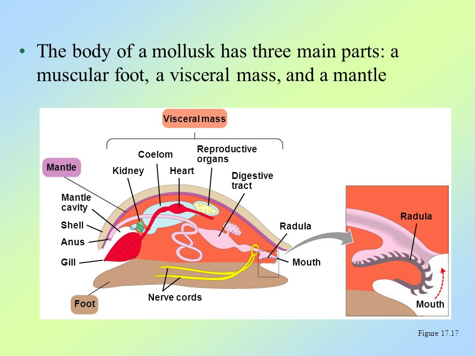 The body of a mollusk has three main parts: a muscular foot, a visceral mass, and a mantle Figure 17.17 Mantle Mantle cavity Shell Anus Gill Foot Nerv