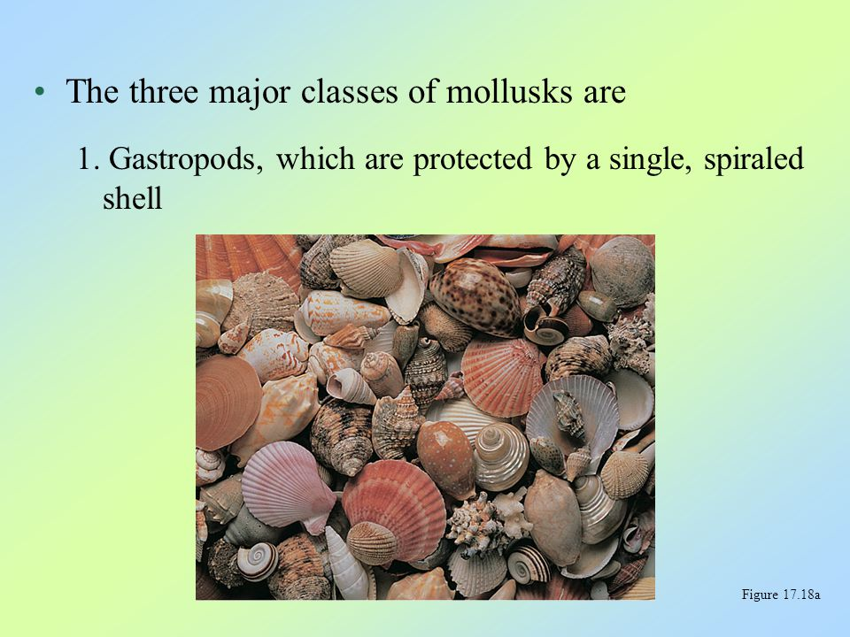 The three major classes of mollusks are 1. Gastropods, which are protected by a single, spiraled shell Figure 17.18a
