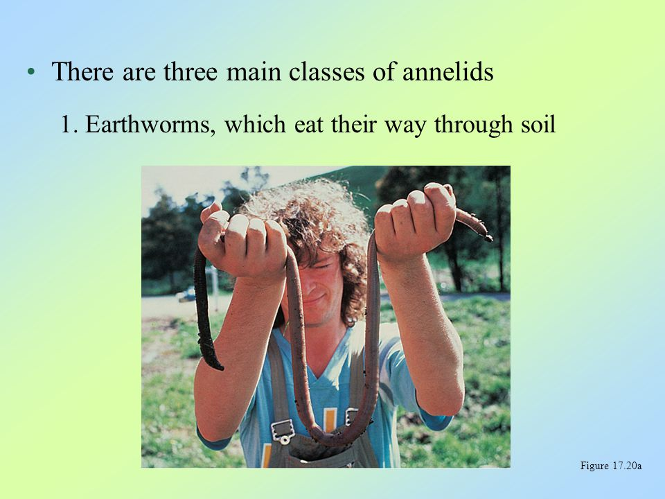 There are three main classes of annelids 1. Earthworms, which eat their way through soil Figure 17.20a
