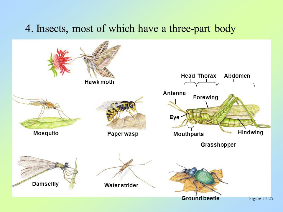 Hawk moth Mosquito Paper wasp Damselfly Water strider Ground beetle Antenna Eye Head Mouthparts Thorax Forewing Abdomen Hindwing Grasshopper 4. Insect