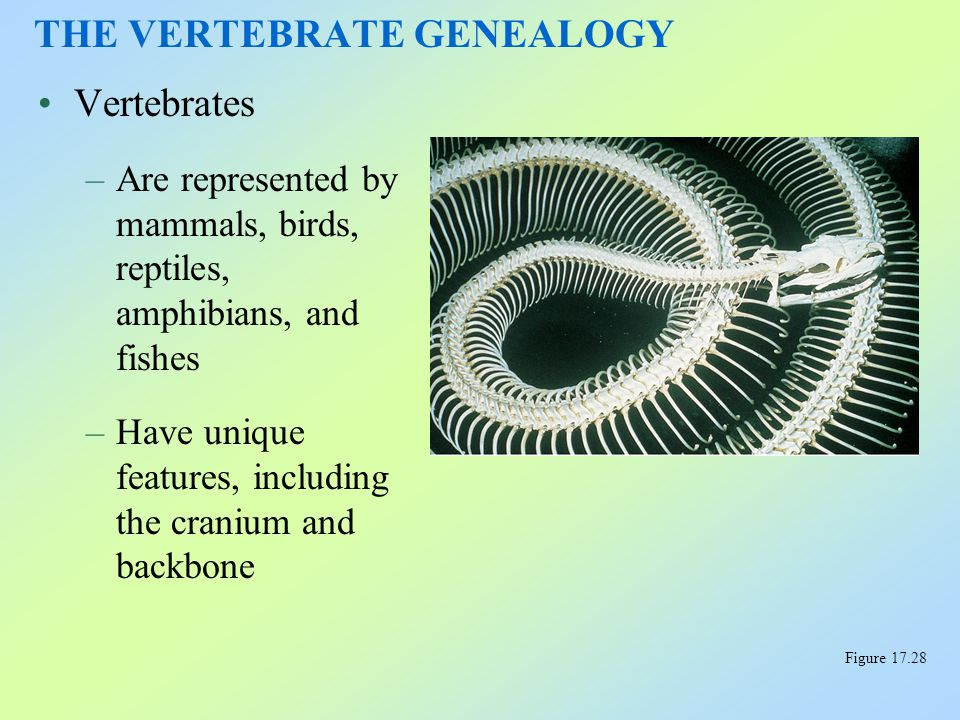 Vertebrates –Are represented by mammals, birds, reptiles, amphibians, and fishes –Have unique features, including the cranium and backbone THE VERTEBR