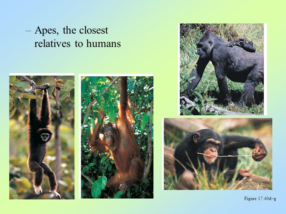 –Apes, the closest relatives to humans Figure 17.40d–g