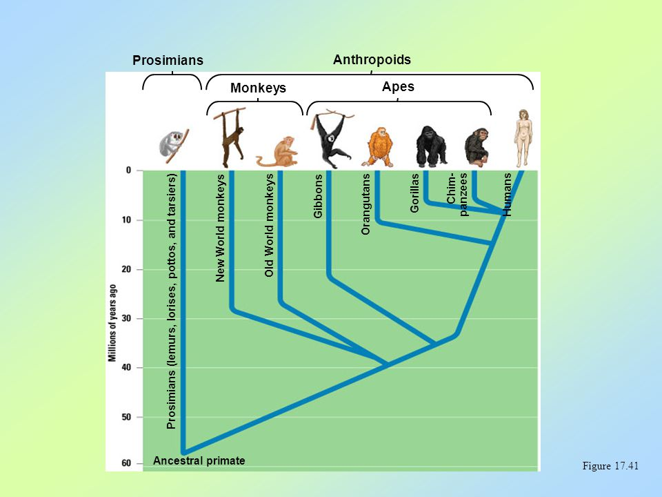 Figure 17.41 Prosimians Anthropoids Monkeys Apes Prosimians (lemurs, lorises, pottos, and tarsiers) New World monkeys Old World monkeys Gibbons Orangu